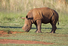 Young White Rhinocerus grazing on short green gras Stock Image
