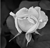 Young White Rose in Black and White. Against blurred leaves Stock Photo