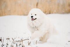 Young White Samoyed Dog, Bjelkier, Smiley, Sammy, Playing Running Stock Images