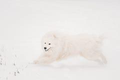 Young White Samoyed Dog, Bjelkier, Smiley, Sammy, Playing Running Stock Photo