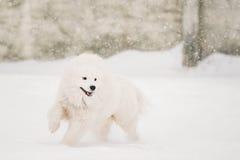 Young White Samoyed Dog, Bjelkier, Smiley, Sammy, Playing Running Stock Image