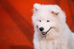 Young White Samoyed Dog Puppy On Red Wall Background. Close Up Of Young White Samoyed Dog Puppy On Red Wall Background Stock Images