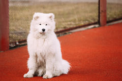 Young White Samoyed Dog Sitting Outdoor Royalty Free Stock Photo