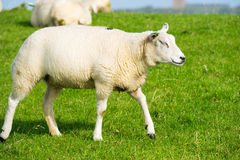Young white sheep Stock Photo