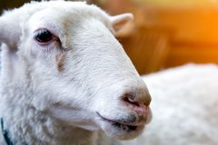Young white sheep stock images