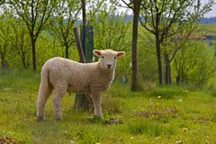 Young white sheep Royalty Free Stock Photo