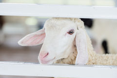 A young white sheep and white fence. A face of young white Stock Photo