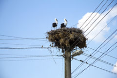 Young white storks. On the nest Royalty Free Stock Photo