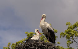Young white storks in the nest Royalty Free Stock Photography