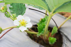 Young white strawberry flower with dew and micro pe tube. Stock Photography