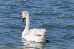 Young white swan Stock Images