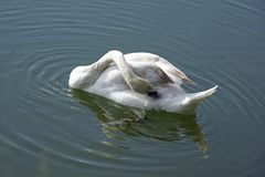 Young white swan. Cleans feathers. Floats on the surface of the water in the pond. Long elegant neck bird stock photos