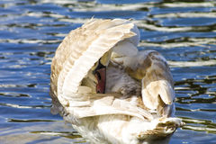 Young white swan cleans wings. Horizontal close-up shot Royalty Free Stock Photos