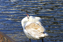 Young white swan funny basking in the sun. Horizontal shot, theme - the nature and animals Royalty Free Stock Image