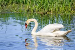 Young white swan looks at his reflection in the water surface of the lake on a sunny summer day Royalty Free Stock Image