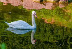 Young white swan reflected in water. Young white swan reflected in green water Stock Photo