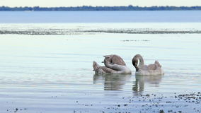 Young white swans stock video footage