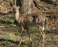 Young White-tail Deer Stock Image