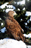 Young white-tailed. Eagle. Birds of prey team. family of hawk Royalty Free Stock Images