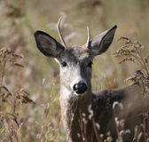 Young White-tailed Deer. A young white-tailed deer bucl looking alertly Stock Photos