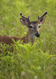 Young White Tailed Deer Buck. A young WHite Tailed Deer buck with early velvet antlers in a grassy field. Great Smoky Mountains National Park, Cades Cove Stock Image