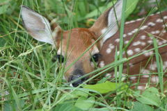 Young White-tailed Deer Fawn. A small white-tailed deer fawn in the brush. This baby is one to two weeks old Royalty Free Stock Photos