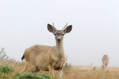 Young White-Tailed Deer in Fog. Young white-tailed deer looking curiously in foggy day, mother grazing in the back, Point Reyes National Seashore, CA Stock Photo