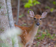 Young White Tailed Deer Stock Images