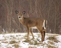 Young white-tailed deer in the snow Royalty Free Stock Photo
