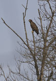 Young white-tailed eagle-1. Young white-tailed eagle sitting on a tree-1 Royalty Free Stock Images