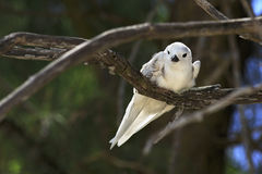 Young white tern sitting on a branch Stock Photos