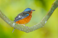 Young White-throated Rock Thrush Royalty Free Stock Photos