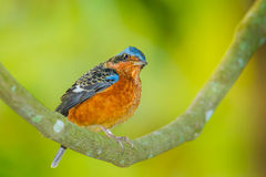 Young White-throated Rock Thrush Stock Photos