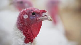 Young turkey looks around room at poultry farm. Young white turkey with coral and appendage looks around room with fillings at poultry farm stock video