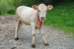 Farm. Young white veal Royalty Free Stock Photo