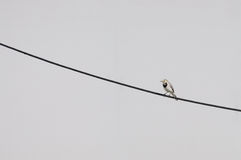 Young white wagtail on a cable Stock Photos