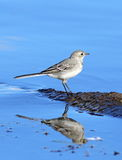 Young white wagtail close up. Motacilla alba. A white wagtail on the bank of the lake at evening light Stock Photos