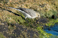 Young white wagtail Royalty Free Stock Image