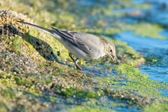 Young white wagtail. Close-up photography of young beautiful white wagtail or Motacilla alba Stock Image