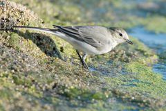 Young white wagtail. Close-up photography of young beautiful white wagtail or Motacilla alba Royalty Free Stock Photos