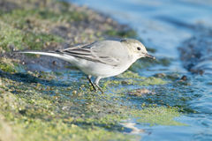 Young white wagtail. Close-up photography of young beautiful white wagtail or Motacilla alba Stock Images