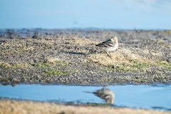 Young white wagtail Stock Images