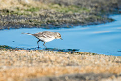 Young white wagtail. Close-up photography of young beautiful white wagtail or Motacilla alba Royalty Free Stock Photography