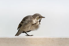 Young white wagtail. (Motacilla alba) scratching itself against clean background of lake water Royalty Free Stock Image
