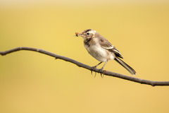 Young white wagtail. With a moth in a beak Royalty Free Stock Photos