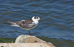 Young white winged tern Royalty Free Stock Images