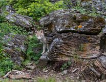 Young White Wolf royalty free stock photos