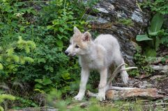 Young White Wolf royalty free stock photo