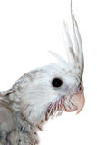Young whiteface cockatiel head close-up Royalty Free Stock Photos