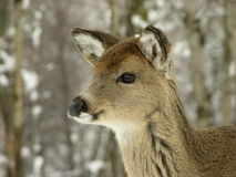 Young Whitetail 2. Yearling whitetail deer head shot Stock Photo